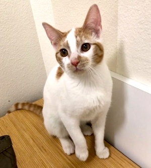 [another picture of Bunny Boo, a Domestic Short Hair white/orange\ cat]