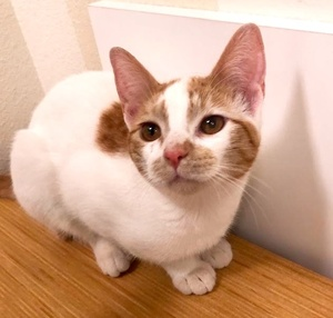 [picture of Bunny Boo, a Domestic Short Hair white/orange\ cat]