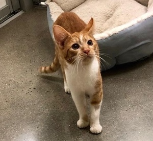 [picture of Sunflower, a Domestic Short Hair orange/white\ cat]