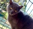 [picture of Lucas, a Russian Blue Mix blue cat]