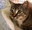 A picture of #ET03873: Chachi a Domestic Short Hair gray/white