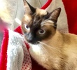 A picture of #ET03874: Amelia a Siamese Mix seal point