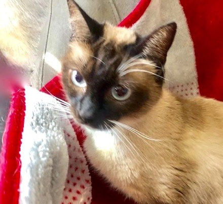 [picture of Amelia, a Siamese Mix seal point\ cat]