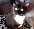 A picture of #ET03875: Lilac a Domestic Short Hair black/white