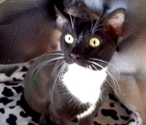 [picture of Lilac, a Domestic Short Hair black/white\ cat]