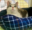 A picture of #ET03876: Carnation a Domestic Short Hair calico