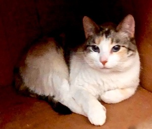 [picture of Carnation, a Domestic Short Hair calico cat]