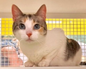 [picture of Carnation, a Domestic Short Hair calico\ cat]