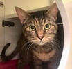 A picture of #ET03877: Iris a Domestic Short Hair gray tortie
