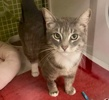 A picture of #ET03878: Nena a Domestic Short Hair silver/white