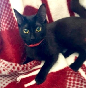 [another picture of Hertudis, a Domestic Short Hair black\ cat]