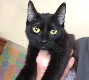 [picture of Hertudis, a Domestic Short Hair black\ cat]