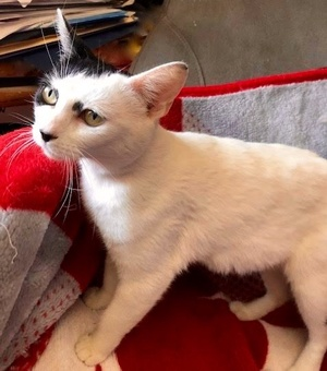 [picture of Paris, a Domestic Short Hair white/black cat]