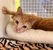 A picture of #ET03882: Moony a Domestic Short Hair orange