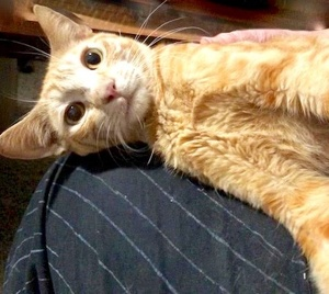 [picture of Moony, a Domestic Short Hair orange cat]