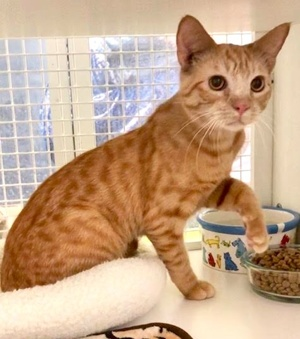 [picture of Moony, a Domestic Short Hair orange\ cat]