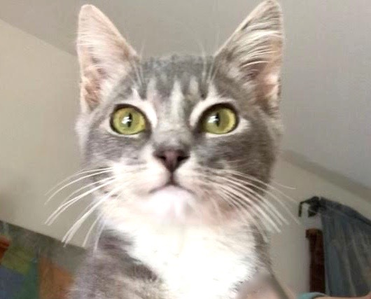 [picture of Easter, a Domestic Short Hair silver/white\ cat]