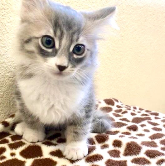 [picture of Johnny, a Ragdoll Mix silver/white\ cat]