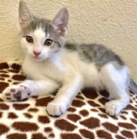 [picture of Roland, a Domestic Medium Hair white/blue tabby\ cat]