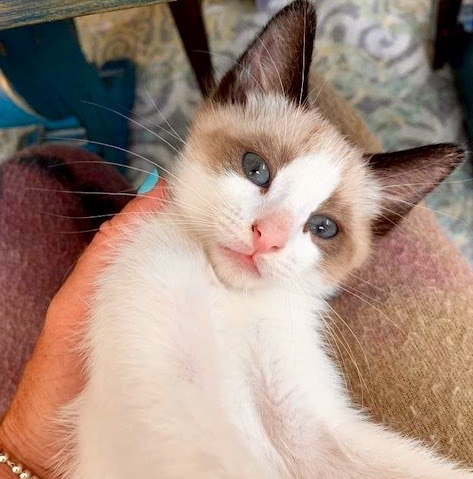 [picture of David, a Ragdoll Mix snowshoe\ cat]