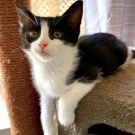 [picture of Moria, a Domestic Medium Hair black/white\ cat]
