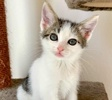 A picture of #ET03890: Twyla a Domestic Short Hair white/tabby