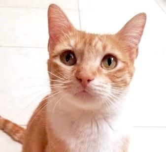 [picture of Junipurrr, a Domestic Short Hair orange tabby/white\ cat]