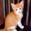 A picture of #ET03892: Ajax a Domestic Short Hair orange/white