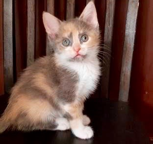 [another picture of Ophelia, a Domestic Short Hair dilute  calico\ cat]