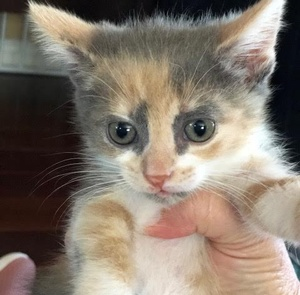 [picture of Ophelia, a Domestic Short Hair dilute  calico\ cat]