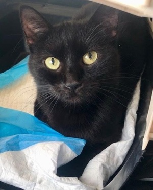 [another picture of Camila Marie, a Domestic Short Hair black\ cat]