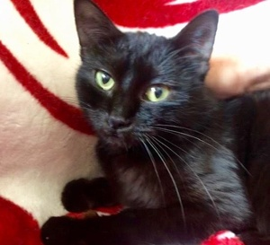 [picture of Camila Marie, a Domestic Short Hair black\ cat]
