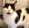 A picture of #ET03898: Pinta a Domestic Short Hair white/black