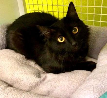 [picture of Bojovi, a Domestic Long Hair black\ cat]