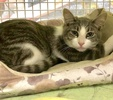 A picture of #ET03904: Presley a Domestic Short Hair silver/white