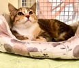 A picture of #ET03905: Sophie a Domestic Short Hair calico