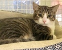 A picture of #ET03906: Tyler a Domestic Short Hair brown tabby/white
