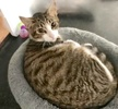 [picture of Tyler, a Domestic Short Hair brown tabby/white cat]