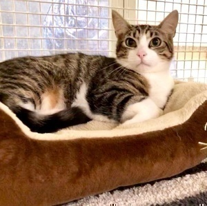 [picture of Tyler, a Domestic Short Hair brown tabby/white\ cat]
