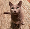 A picture of #ET03907: Ms. Rosie a Russian Blue Mix blue