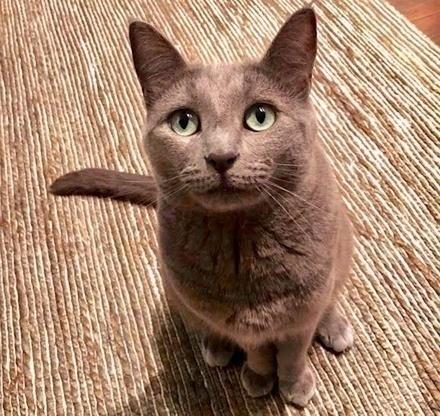 [picture of Ms Rosie AKA Becca, a Russian Blue Mix blue\ cat]