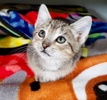 A picture of #ET03908: Ben a Domestic Short Hair gray tabby
