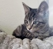 A picture of #ET03909: Maddie a Domestic Short Hair marble tabby