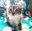 A picture of #ET03910: Mila a Domestic Long Hair tabby