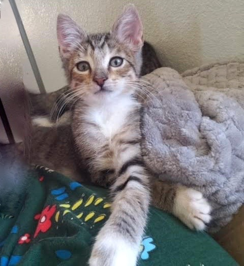 [picture of Bailey, a Domestic Short Hair tabby/white\ cat]
