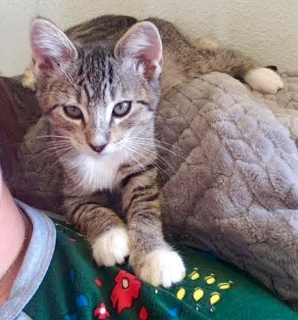 [picture of Grace, a Domestic Short Hair tabby\ cat]