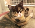A picture of #ET03913: Madonna a Domestic Medium Hair calico