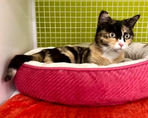 [another picture of Madonna, a Domestic Short Hair calico\ cat]