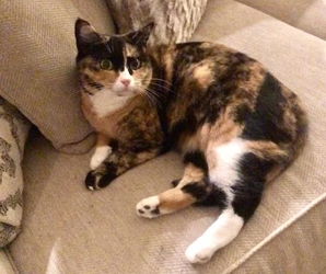 [picture of Madonna, a Domestic Short Hair calico cat]