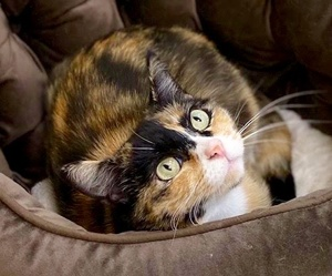 [picture of Madonna, a Domestic Short Hair calico\ cat]